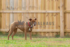 An alert looking pitbull mix in a backyard