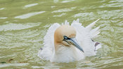 Northern gannet frontal encounter