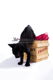 little cat jumping out of box