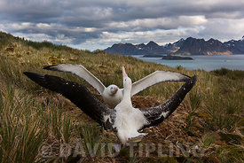 Wandering Albatross Diomeda exulans pair displaying on Albatross Island South Georgia January