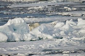 A female polar bear curiously glances through a break in the snow on an ice floe near Edgoya, Norway.