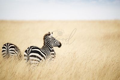 Zebra Looking Out over Grass in Kenya Africa
