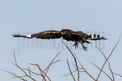 Long Crested Eagle Taking off from Perch