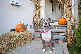 gray and white pitbull sitting on front porch with pumpkins and corn stalk on Halloween