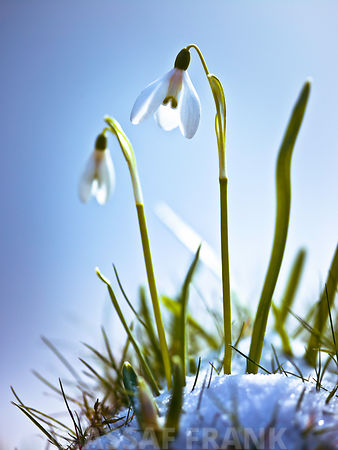 Snowdrops flowers