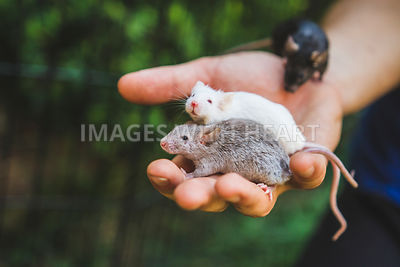 holding three mice