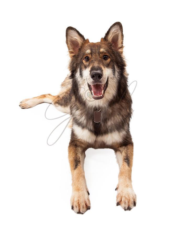 Susan Schmitz Photography | Happy Wolf and German Shepherd Cross ...