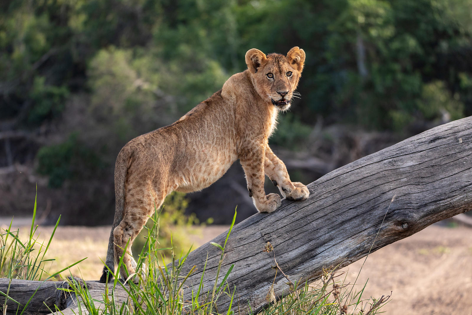A Young Lion Stands on a Fallen Tree