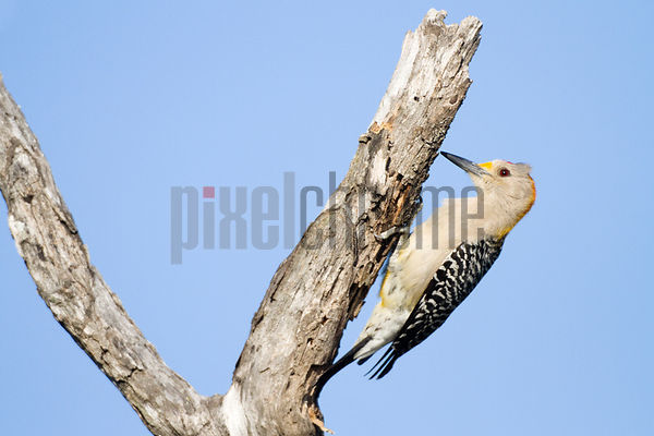 Golden-Fronted Woodpecker Perched on Dead Tree