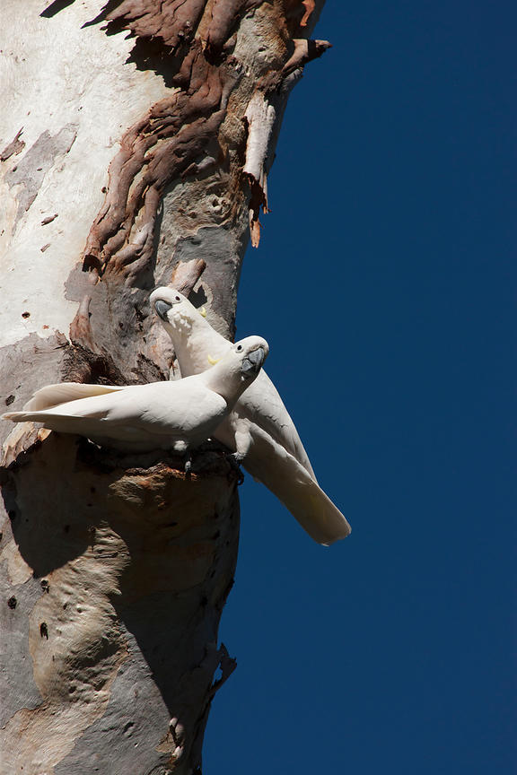 A pair of Sulphur-crested Cockatoos in a gum tree