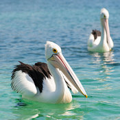Australian Pelicans are the largest pelican species in the world. They are a majestic bird on the water and in flight. They w...