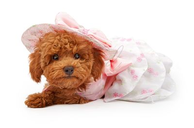 Poodle Puppy in an Easter Dress and Bonnet