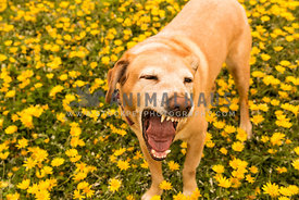 Yellow labrador dog standing in field of flowers yawning