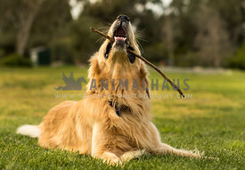 golden retriever laying in grass with stick in his mouth