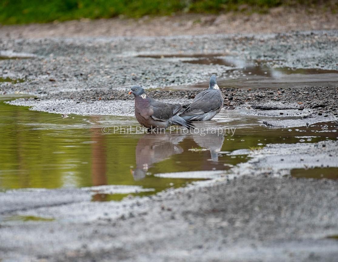 Two wood pigeons bathing in a puddle in the rain.