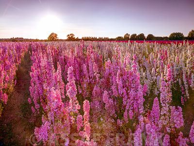 Delphinium Field, Worcestershire, UK