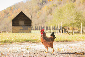 Rooster on a farm in the sunshine