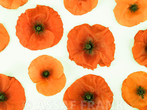 Poppies on white background