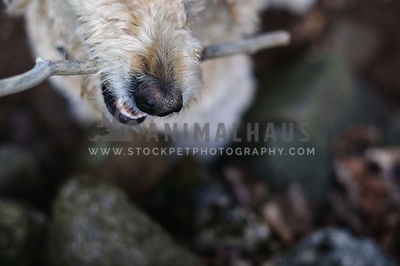 Moody closeup of dog;s snout with stick in the woods