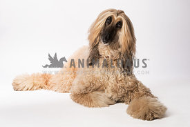 Afgan Hound Studio full body lying down