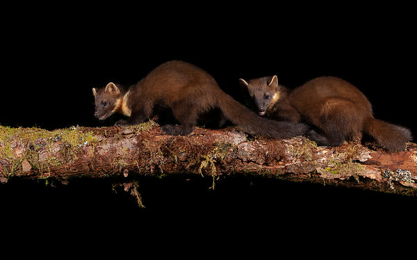 Pine Marten duo - two kits out on the search for food