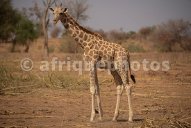 Giraffe of the Kouré Reserve