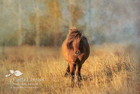 Icelandic Horse in the Evening Light