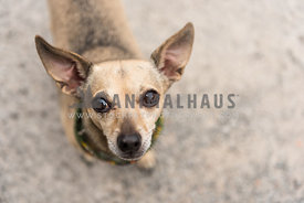 Chihuahua type dog  in bandana with big ears looks up  at camera