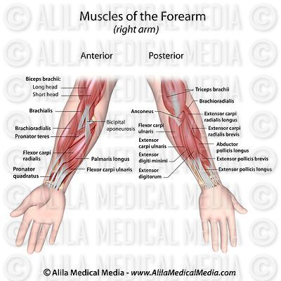 Forearm muscles both sides view, labeled.