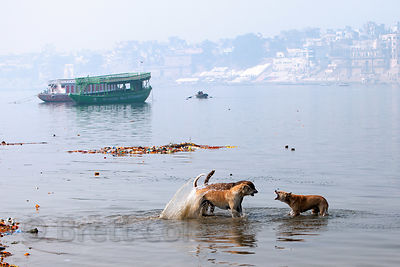 Stray dogs fighting in the Ganges River, Varanasi, India.
