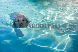 Golden Retreiver puppy swimming in pool