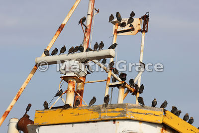 Common Starlings (Sternus vulgaris) roosting on abandoned boat, Roa Island, Cumbria, England