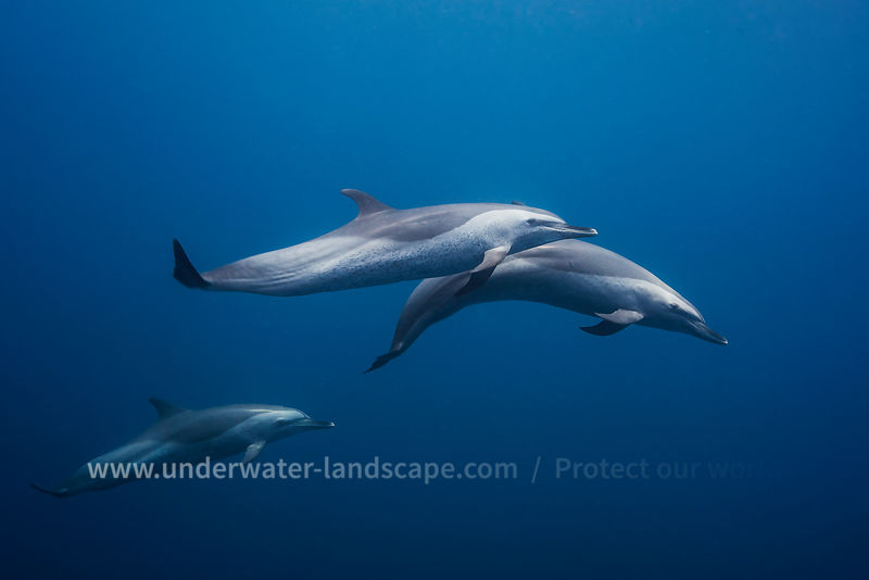 Spotted dolphin diving photography