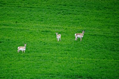 Three antelope in green wheat