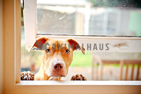 Red nose pit bull looking through an open window