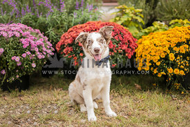 happy australian shepherd in a bowtie in front of flowers