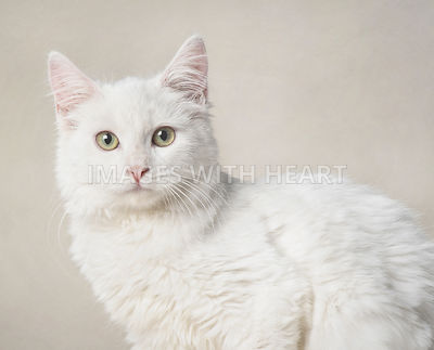 White cat on beige background