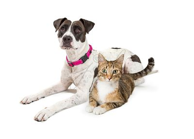Crossbreed Dog and Tabby Cat Lying Down Together