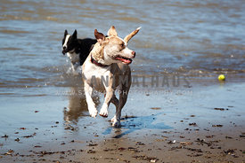 mixed breed dogs playing and running in the surf with tennis ball