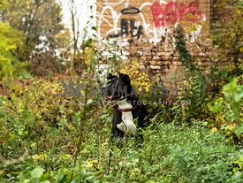 pit bull mix sitting in overgrown field in front of abandoned factory