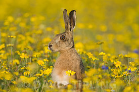 Brown Hare Lepus europaeus alert in flower meadow Norfolk summer
