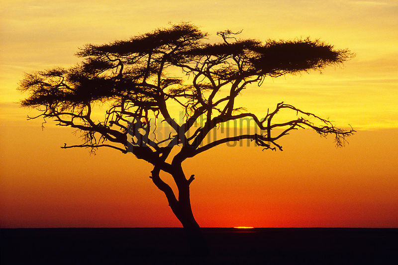 Acacia Tree at Sunset