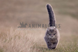 Angry cat walking in field