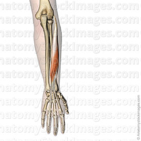 forearm-hand-muscules-extensor-digitorum-muscle-humerus-lateral-epicondyle-distal-middle-phalanx-skin