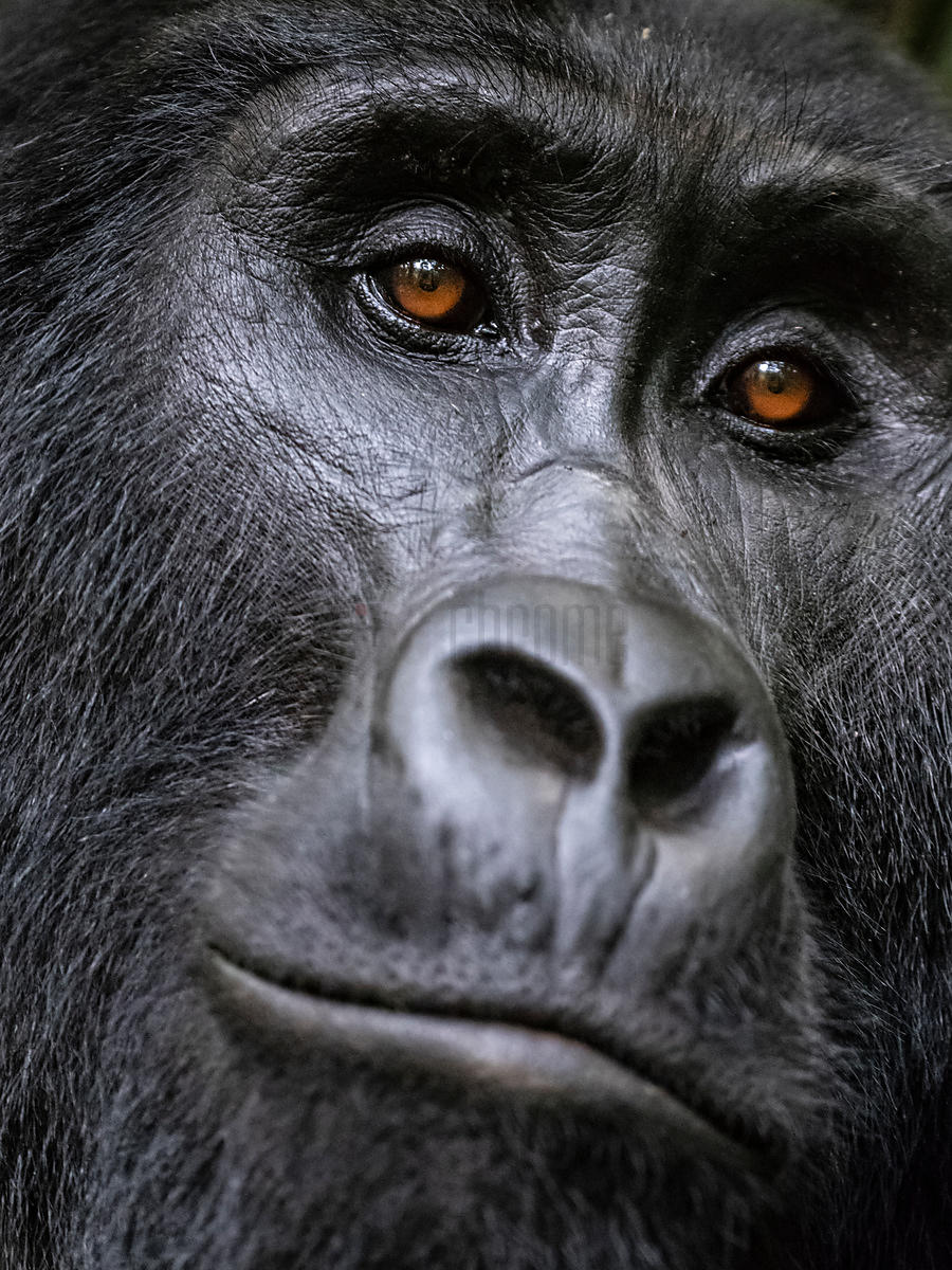 Portrait of a Female Mountain Gorilla