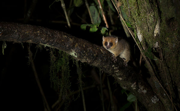 Tiny Brown Mouse Lemurs are attracted in with offerings of banana by local guides