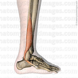lowerleg-musculus-peroneus-brevis-fibularis-muscle-lateral-metatarsi-fibula-tendon-side-skin