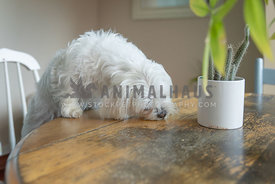 white dog eating from table