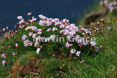 Thrift (Armeria maritima ssp maritima) on the cliff top at Sumburgh Head, Mainland South, Shetland