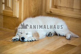 golden Retreiver puppy sleeping on hardwood floor